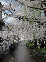 京都木屋町通りの桜