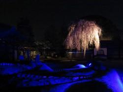 高台寺 方丈前の庭に咲くしだれ桜