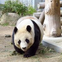 子動物園のジャイアントパンダ