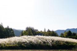 清里高原のすすき
