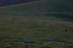 美ヶ原高原の鹿
