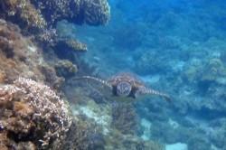 阿嘉ビーチの海ガメ
