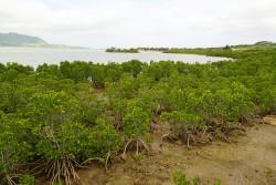 小浜島 マングローブ