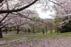 播磨中央公園桜の園
