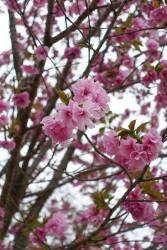 播磨中央公園で花見