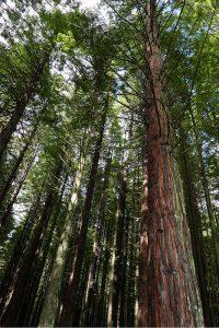 レッドウッド森林公園